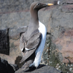 Guillemot (Bridled & Yellow Billed!)