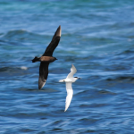 Skua & Sandwich Tern